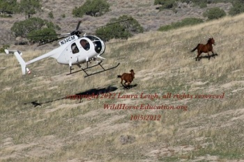 Helicopter pursuit of wild horses in the Antelope Complex