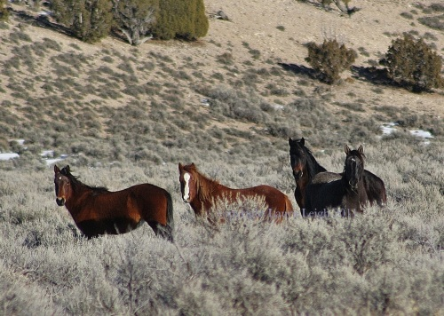 Wild horses in the Antelope Complex (Leigh)
