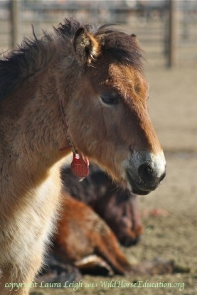 Wild horse yearling removed from Nevada in 2012
